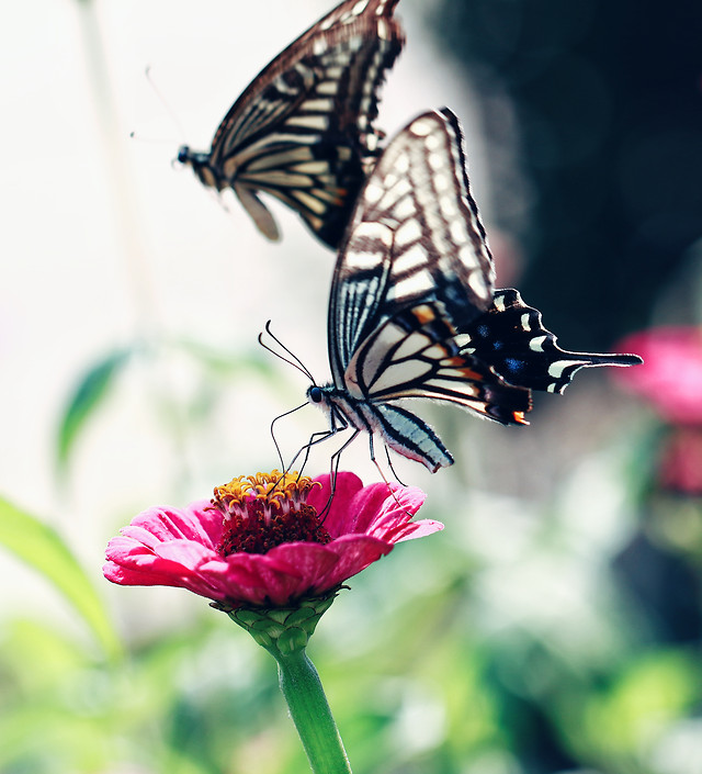 butterfly-insect-nature-summer-monarch picture material