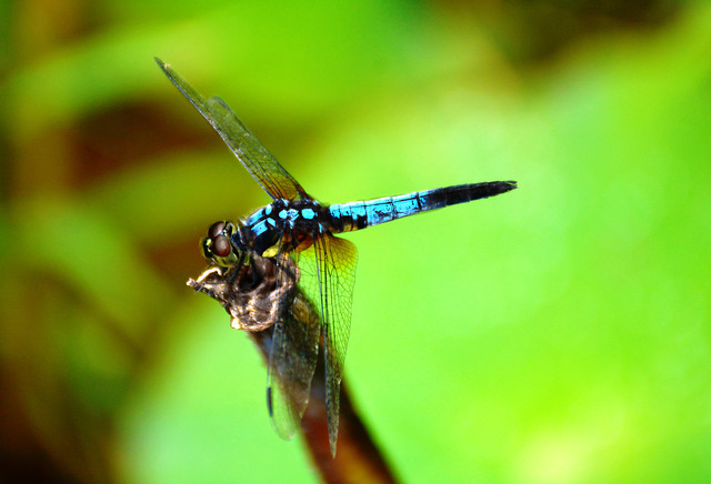 dragonfly-insect-nature-wildlife-no-person picture material