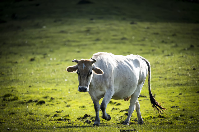 cattle-cow-farm-agriculture-livestock picture material