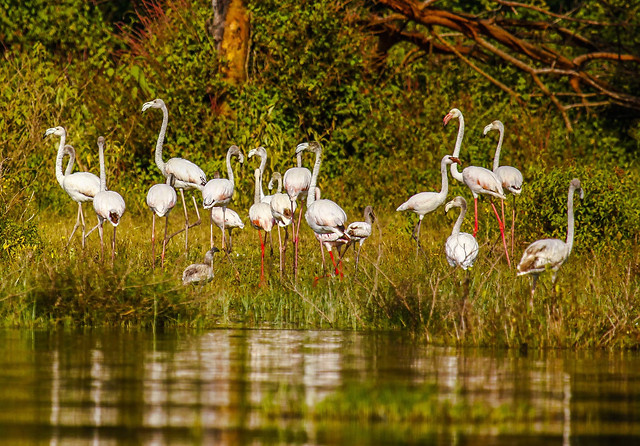 lake-neck-water-bird-wildlife picture material