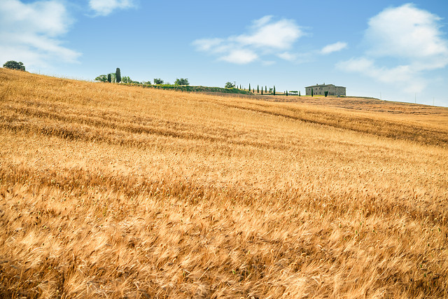 wheat-cereal-agriculture-straw-crop picture material