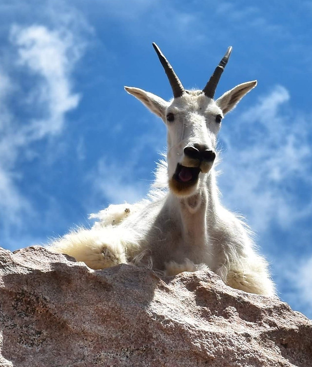 no-person-goat-nature-outdoors-mammal picture material