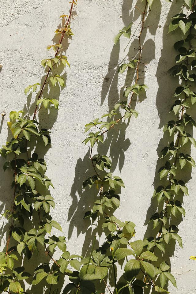 vine-leaf-ivy-flora-clinging-plant picture material