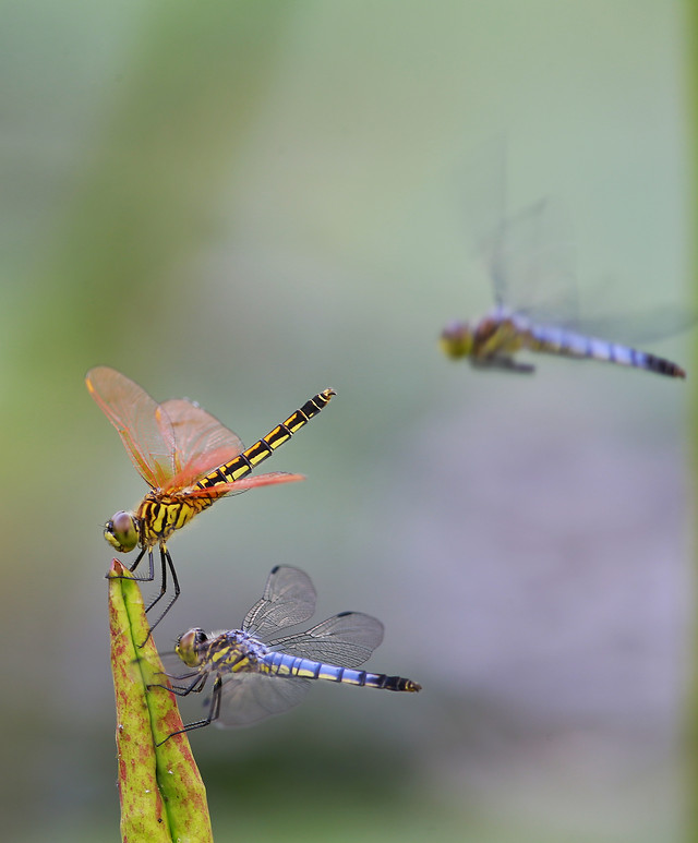 insect-dragonfly-wildlife-invertebrate-no-person picture material