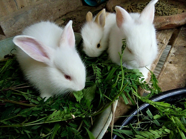 baby-rabbits picture material