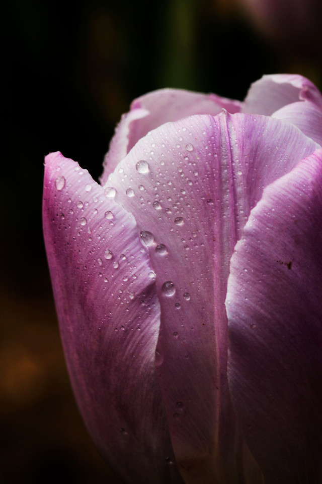 flower-nature-no-person-tulip-flora picture material