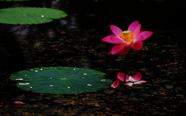 pool-flower-lotus-water-leaf 图片素材