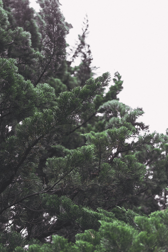 no-person-nature-tree-outdoors-conifer 图片素材