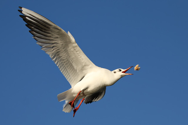 bird-seagulls-flight-wildlife-no-person picture material