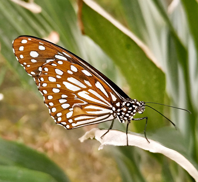 butterfly-insect-invertebrate-wildlife-nature picture material