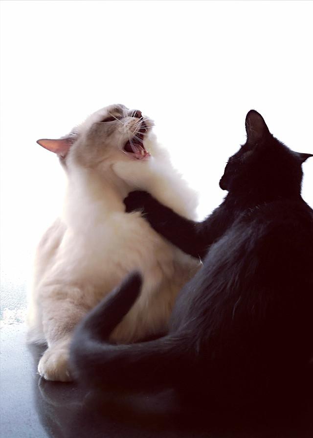 cat-fur-kitten-studio-portrait picture material