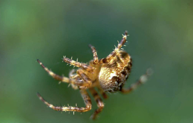 spider-arachnid-insect-invertebrate-wildlife picture material