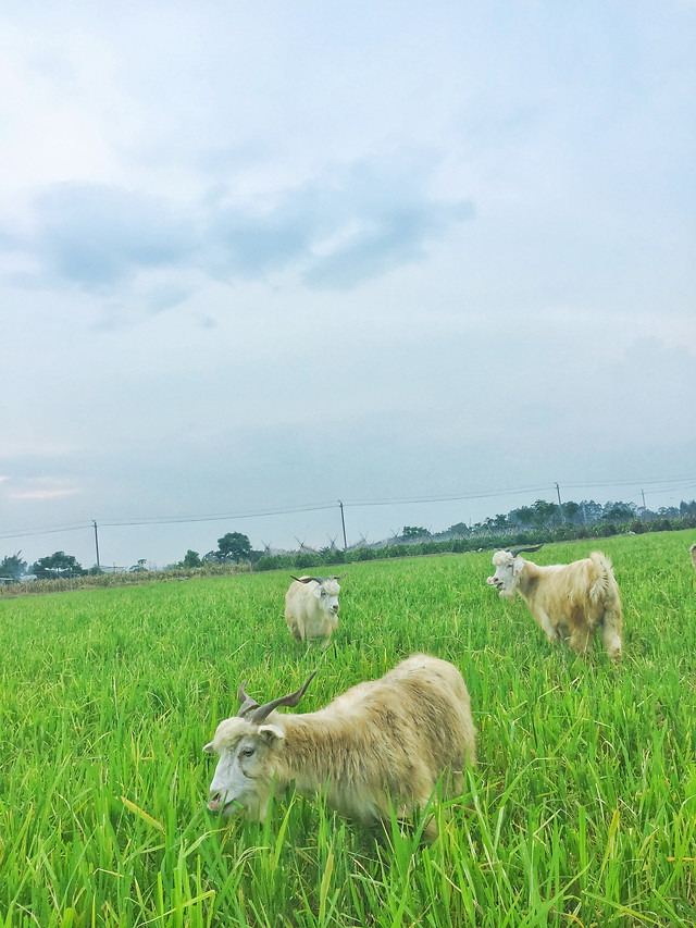 pasture-grass-field-farm-sheep picture material