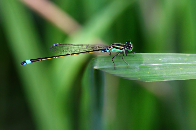 insect-dragonfly-damselfly-invertebrate-wildlife picture material