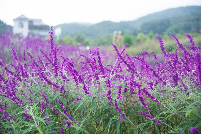 flower-field-lavender-herb-nature picture material