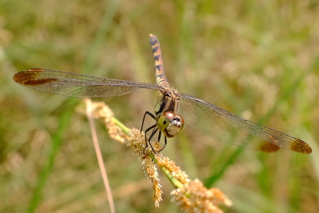 dragonfly-insect-damselfly-wildlife-invertebrate picture material
