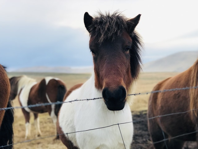 horse-mane-mare-stallion-livestock picture material