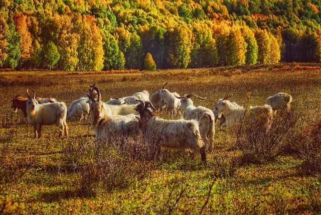 sheep-herd-pasture-grassland-field picture material