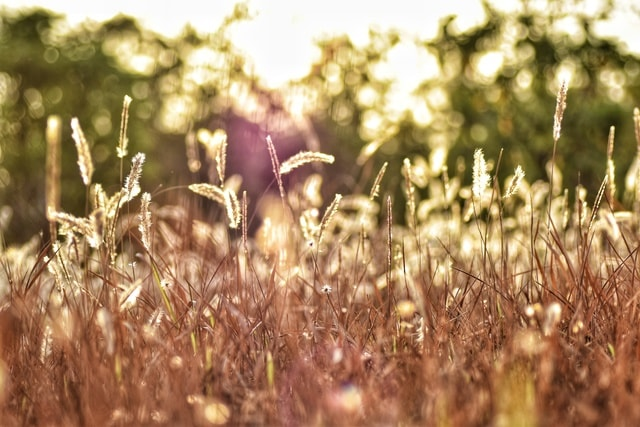 grass-field-flora-afternoon-light picture material