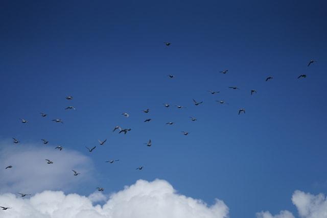 sky-flock-bird-flight-blue picture material