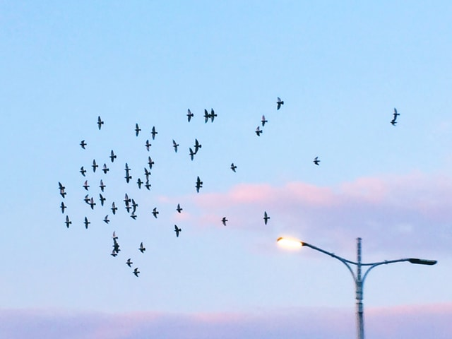 sky-flock-bird-flight-wildlife picture material