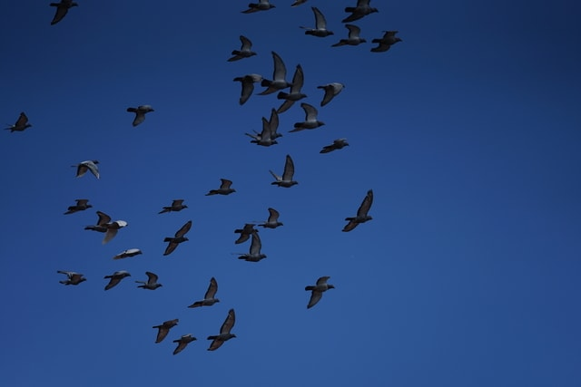 sky-flock-flight-bird-blue picture material