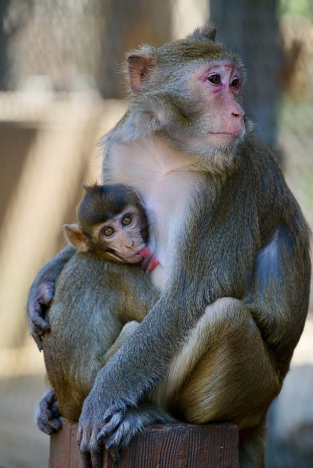 macaque-mammal-primate-wildlife-animal 图片素材