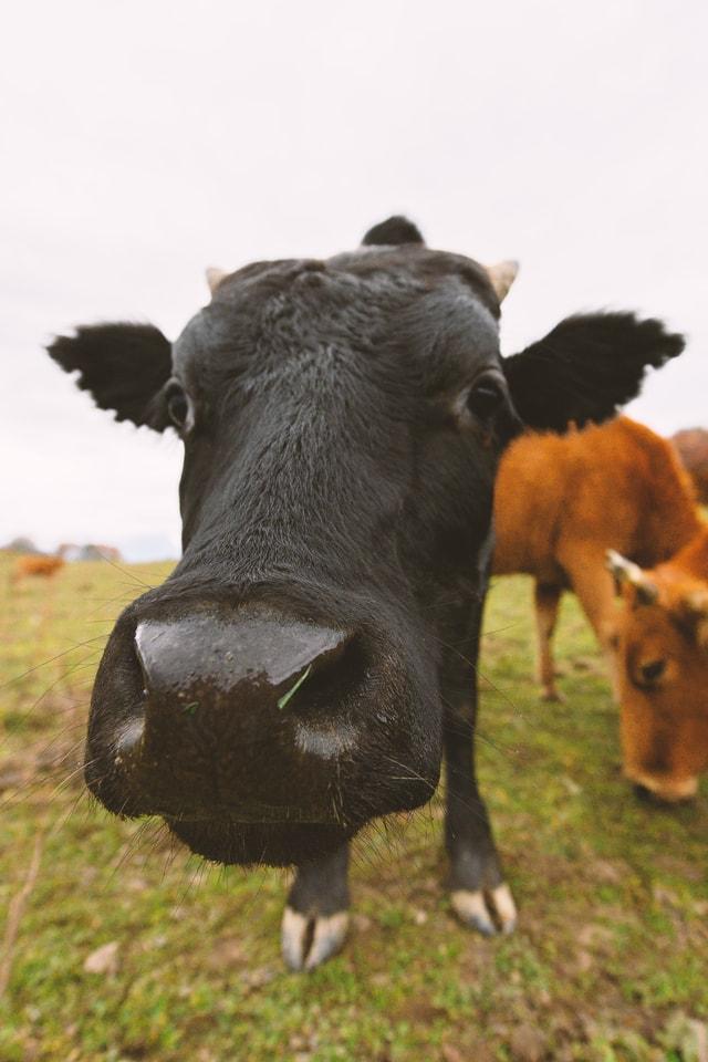 grass-pasture-livestock-calf-bull picture material
