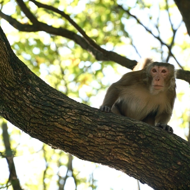 macaque-mammal-primate-tree-wildlife 图片素材