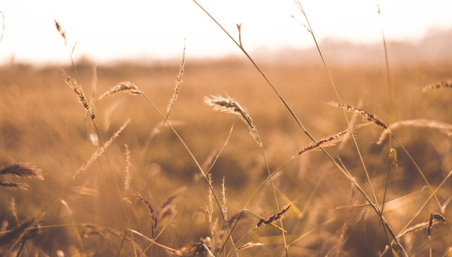 sky-grass-wheat-field-crop picture material