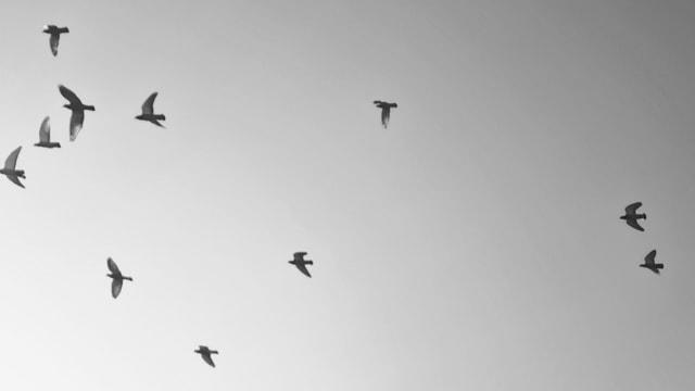 sky-bird-flock-flight-seagulls picture material