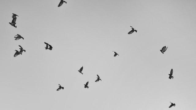 bird-sky-flock-flight-wildlife picture material