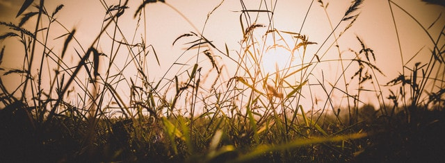 grass-sunset-field-nature-cereal picture material