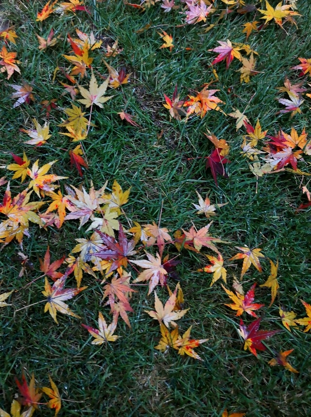mobile-photography-maple-leaf-color-fallen-leaves-rainy-day picture material
