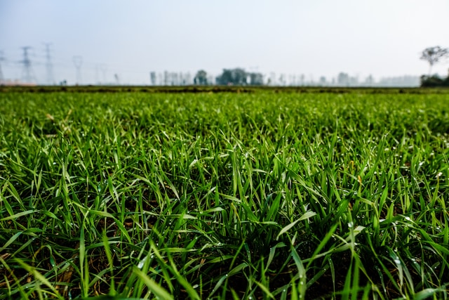 grass-field-crop-agriculture-lawn picture material