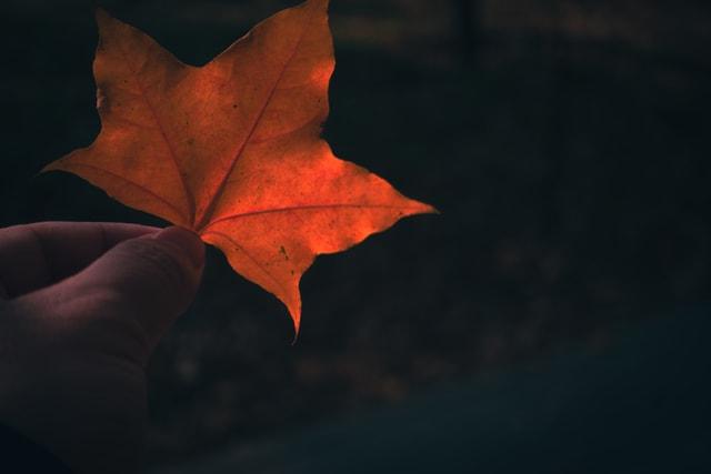 leaf-dark-tone-leaves-backlighting-pentagonal-maple picture material