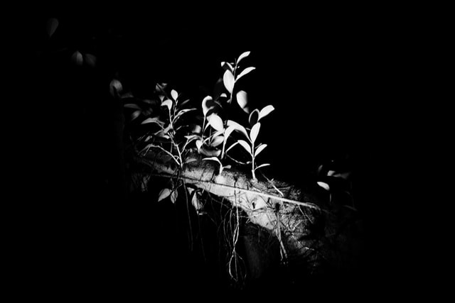black-and-white-monochrome-light-and-shadow-leaves-desktop picture material