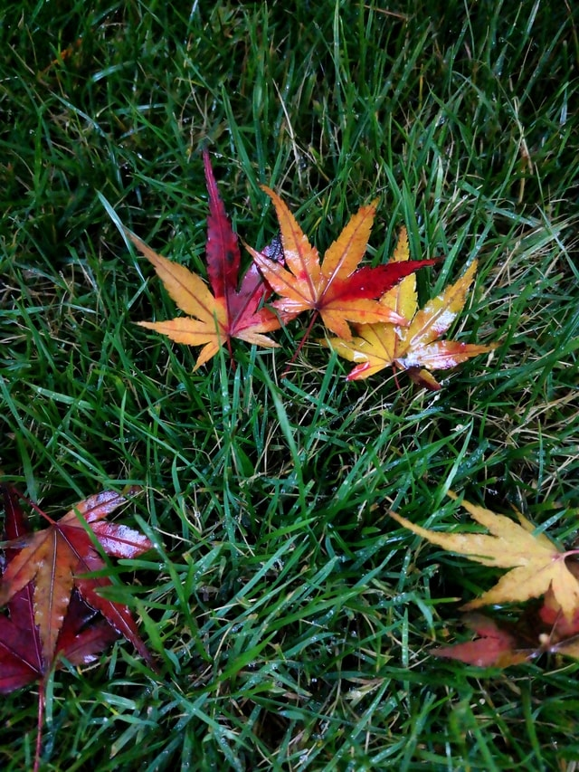 mobile-photography-color-maple-leaf-fallen-leaves-rainy-day picture material