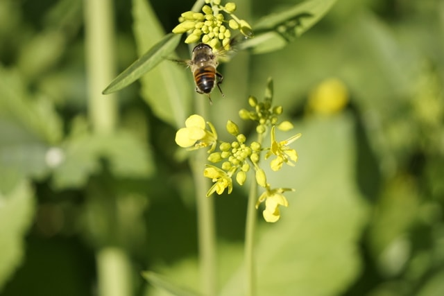 bee-dance-flora-bee-honey-bee-membrane-winged-insect picture material