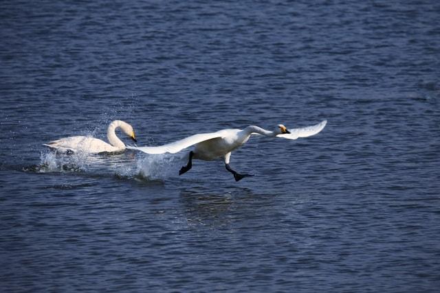 swan-bird-water-bird-water-ducks-geese-and-swans 图片素材