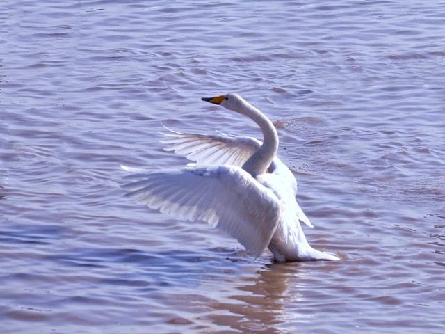 bird-swan-water-bird-water-ducks-geese-and-swans 图片素材