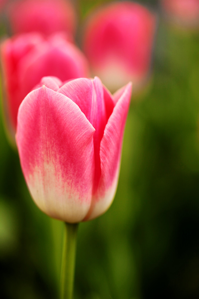 nature-no-person-tulip-flower-flora 图片素材