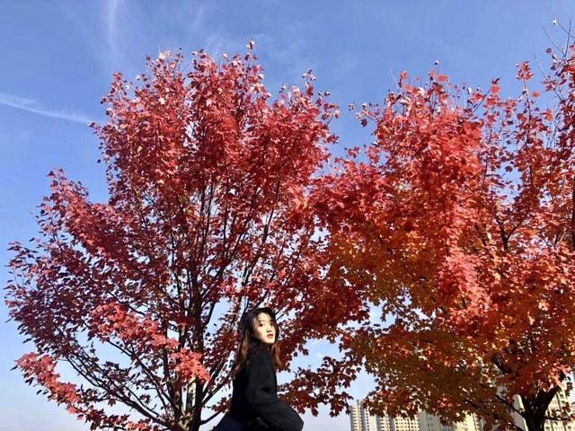 tree-red-woody-plant-leaf-plant 图片素材