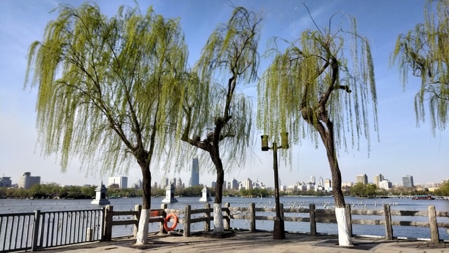 willow-tree-woody-plant-plant-furniture 图片素材