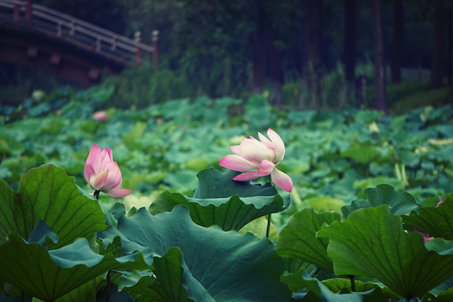 lotus-flower-pool-nature-garden picture material
