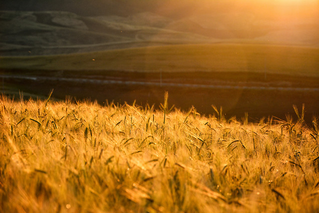 wheat-cereal-sunset-field-sun picture material