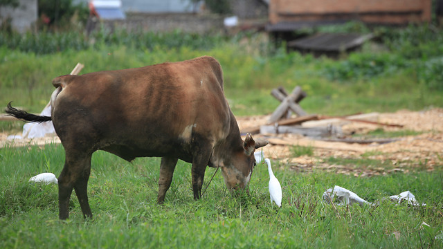 cow-cattle-mammal-agriculture-grass picture material