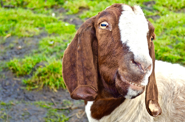 mammal-grass-nature-goats-animal picture material