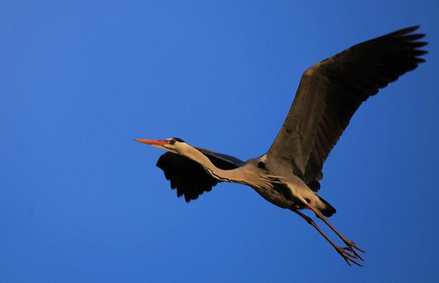 bird-wildlife-no-person-flight-white-stork picture material