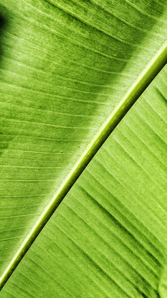 leaf-photosynthesis-flora-vein-growth picture material